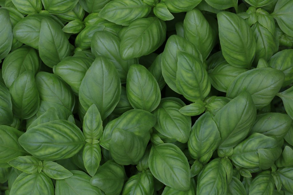 basil-leaves-herbs