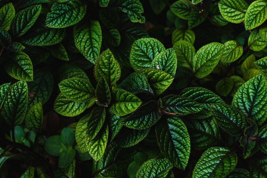 mint-leaves-herbs