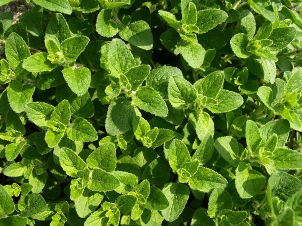 oregano-leaves