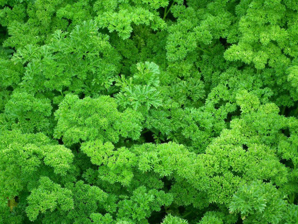 parsley-herbs
