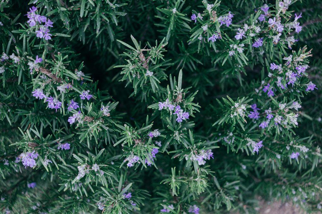 rosemary-herbs