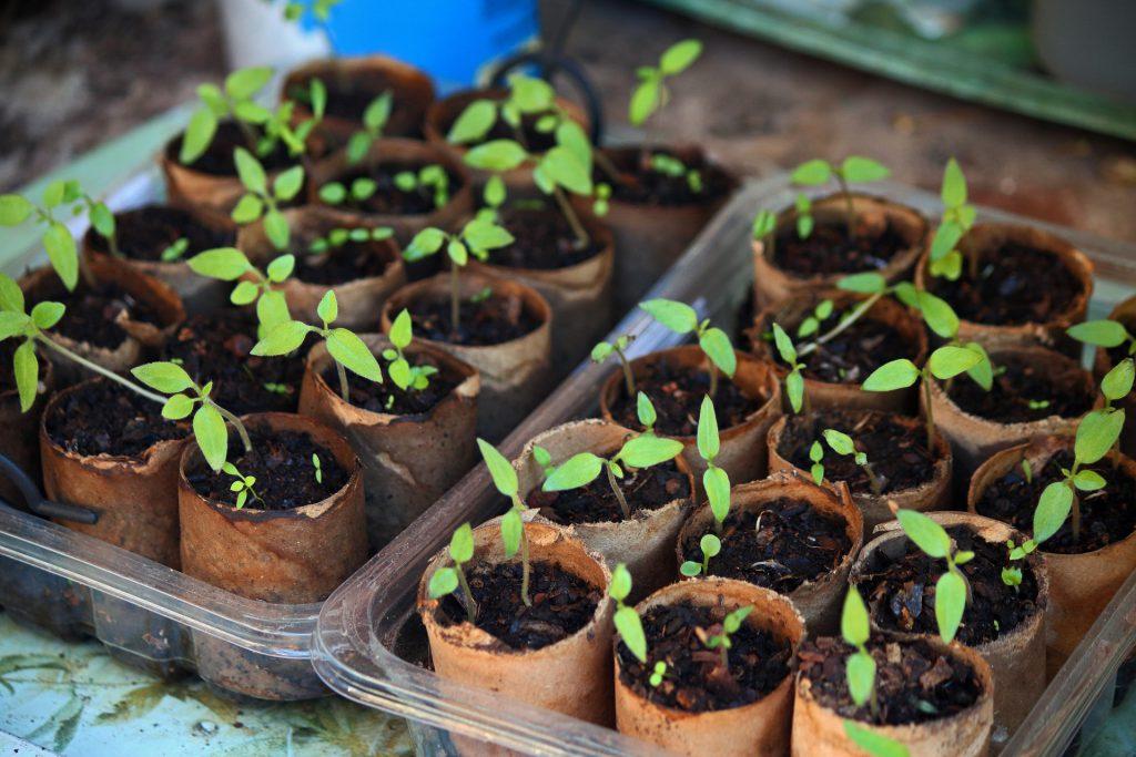 seeds-germinating